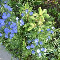 Посоветуйте, как правильно рассадить «голубые» ёлочки-самосейки!