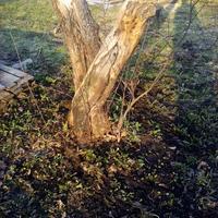Родной сорт или дичка вырастет из корневой поросли яблони?
