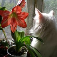 """Мои самые-самые любимые комнатные """"лилии"""" и другие цветущие растения"""