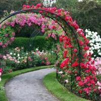 Подскажите сорт розы для арки