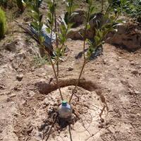 """Как выращивать """"двойные"""" деревья (вишни, сливы)?"""