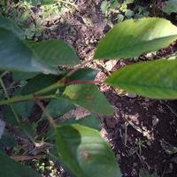 На листьях вишни и черешни появились коричневые пятна. Что это может быть?