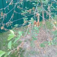 У вишни сохнут листья. Подскажите, что это и как спасти?