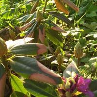 У вечнозеленого рододендрона листья наполовину сухие, но не ломкие. Как привести куст в нормальный и здоровый вид?