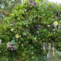 Кобея - необычное вьющееся растение
