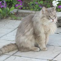 А у нас на даче кошка родила троих котят. Котята выросли немножко, а есть из блюдца не хотят...