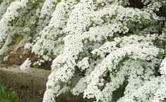 Спирея - украшение любого сада!