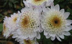 Скромные мелкоцветковые хризантемы