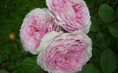 Английские розы Остина.