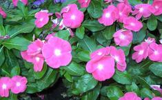 Розовый барвинок или катарантус