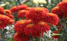 Красные хризантемы осеннего бала Никитского ботанического сада - 2013