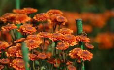 Оранжевые хризантемы осеннего бала Никитского ботанического сада