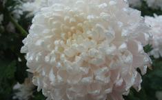 Хризантемы после дождя