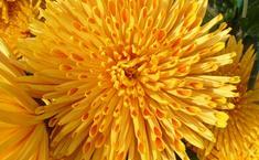 6 самых красивых хризантем Осеннего бала 2013