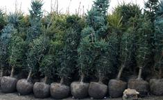 4 ошибки при посадке хвойных растений