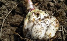 Простой способ размножения лилий