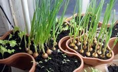 5 видов зелени, которые легко вырастить на подоконнике