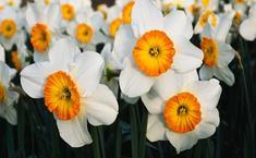 Нарциссы - цветы весны