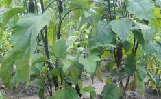 Как я выращивал баклажаны (синенькие).