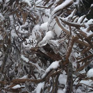 Акация -  графика ледяного дождя