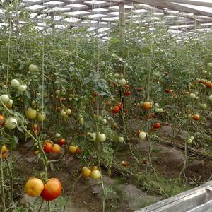 У соседа урожай обещает быть богатым - у него капельное орошение