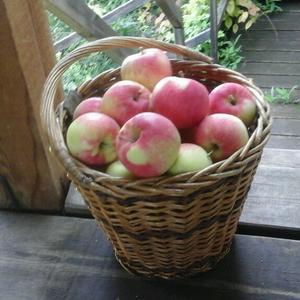 """Первый урожай очень молодой яблони """"Мельба"""""""