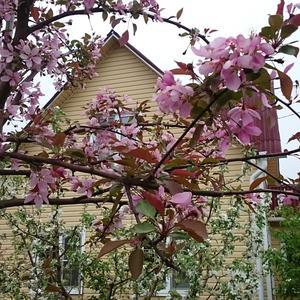 Яблоня-китайка Макамик весной.