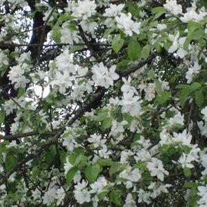 Лучше нету того цвета, когда яблоня цветет