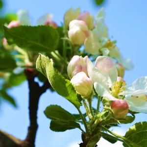 Цветение яблони - настоящее ЧУДО!