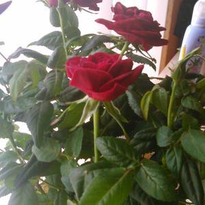 Подскажите, пожалуйста, что это за роза?