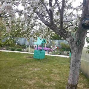 Яблони в цвету