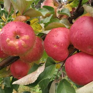 Поздние яблоки