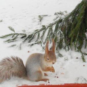 Белка и её следы на снегу