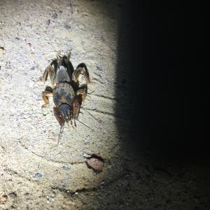 Размер около 5-6 см в длину, с крыльями, сверху панцирь. Может, кто подскажет, что за вредитель?