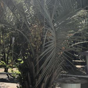 Что за пальма?