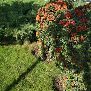 Кустарник с оранжевыми ягодами
