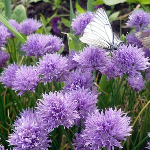 Цветущий шнитт - для бабочек магнит