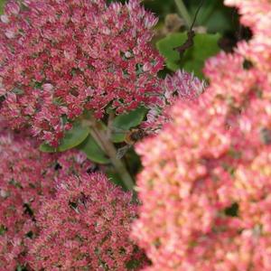 Суетятся пчелки на красках осеннего очитка