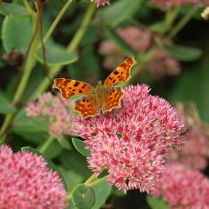 Осеннее засилье бабочек