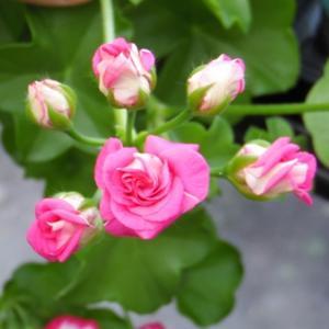 Это не роза! Это саженец пеларгонии расцвел!