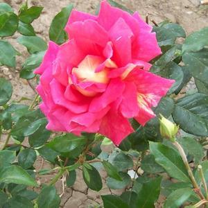 Мои любимые цветы. Роза
