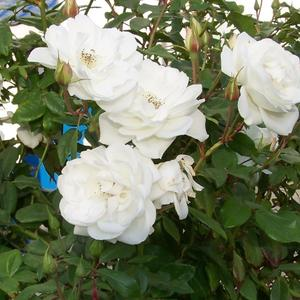 Мои любимые цветы. Розы