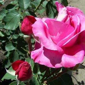 Розовая красавица