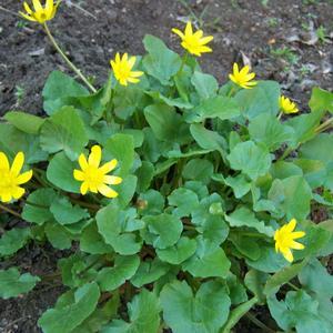 Желтые звезды на зеленом ковре весны