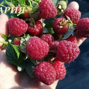 Саженцы малины традиционной ЗКС МАРИЯ