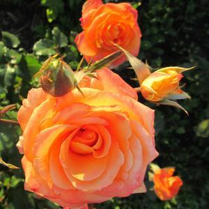 Роза радуется солнышку