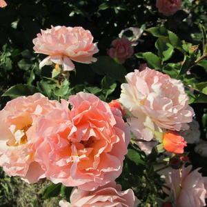 Роза нежного цвета!