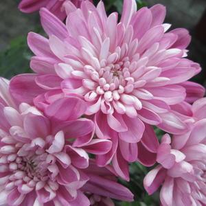 Красотки розовые