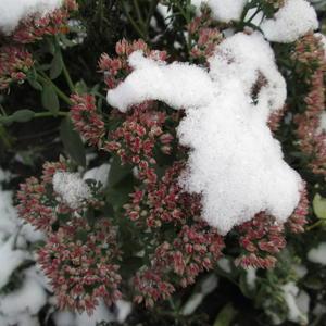 Первый снег и цветы!