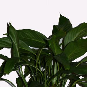 Листья спатифиллума
